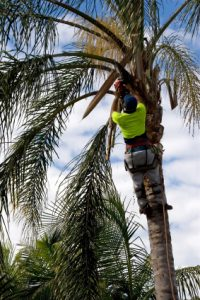 guy-trimming-a-palm-tree-in-tampa